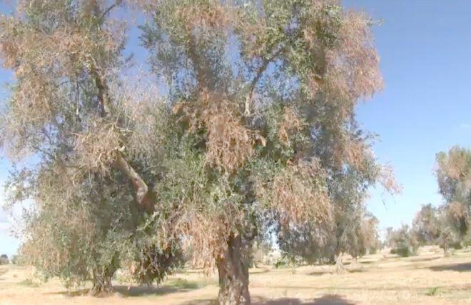 batterio killer effetti su un olivo
